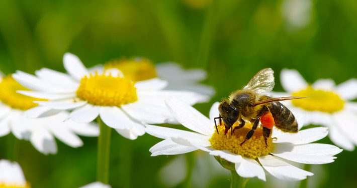 "alt=""Biene auf Blume"" title=""© Alekss - fotolia.com"""